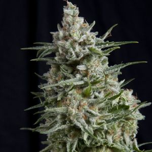 Pyramid Seeds - Anesthesia 3 fem