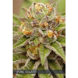 Vision Seeds - Pure Gelato - 3 fem