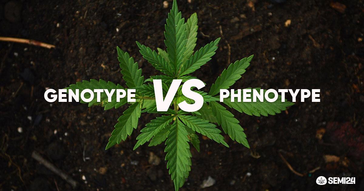 Cannabis|Guida ai Genotipi e ai Fenotipi