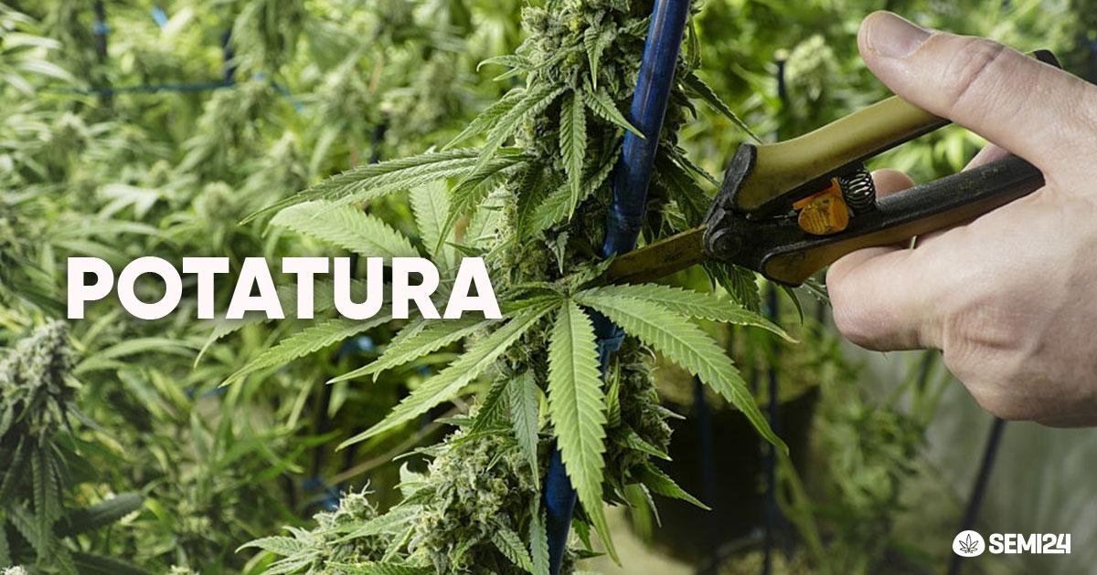 Consigli sulla potatura delle piante di cannabis