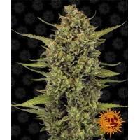 Barney's Farm - Acapulco Gold - 5 Fem