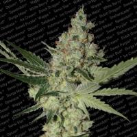 Paradise Seeds - Acid - 3 Fem