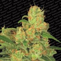 Paradise Seeds - Auto AcidAutofiorente 3