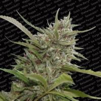 Paradise Seeds - Auto Whiteberry Autofiorente 3