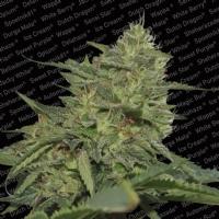 Paradise Seeds - Original Cheese (IBL) 3