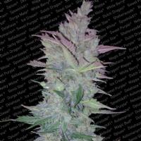 Paradise Seeds - Vertigo Autofiorente 3